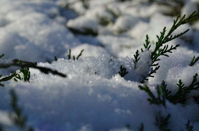 Jehličnan se sněhovou pokrývkou